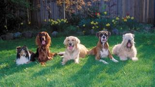 Some dog breeds are particularly susceptible to glioma