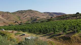 El viñedo de Cesare Nicodemo