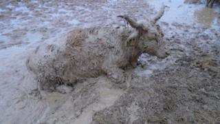 Cow in mud