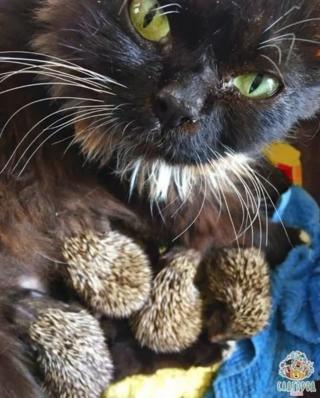 A picture showing the female cat Muska feeding the tiny hedgehogs