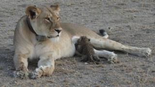 तेंदुए के बच्चे को पाल रही है ये शेरनी