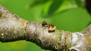 A wood ant eating moth larvae