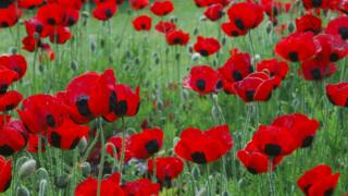 A close image of poppies growing at the Royal Botanic Gardens in London