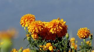 A new campaign is using marigold as a symbol to commemorate the sacrifices of Indian soldiers in world wars