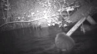 Camera trap footage of the beaver family