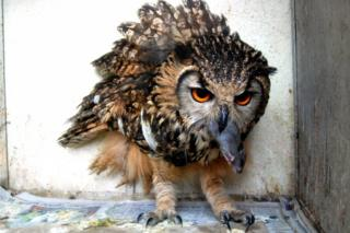A Eurasian owl rescued in August 2012 catches a mouse in it's beak