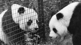 Chia Chia (left) at London Zoo with mate Ching Ching
