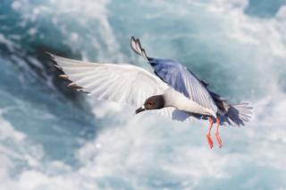 Kırlangıç kuyruklu martı uçuyor