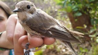 pied flycatcher perched on researcher's hand