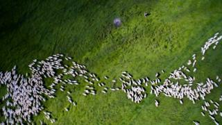 Lots of white sheep against green grass