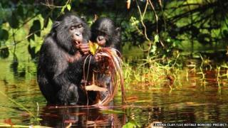 bonobo wading, carrying infant