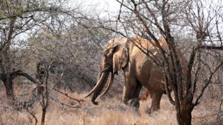 Parktaki fillerden biri 2009'da böyle fotoğraflanmıştı. Fillerin dişlerinin yere değecek kadar uzaması onyıllar sürüyor