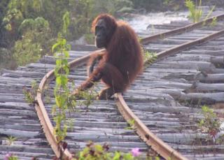 Bornean orangutan on train track (c) Serge Wich