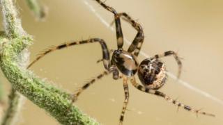 A aranha pirata (Ero sp.) na teia de outra aranha