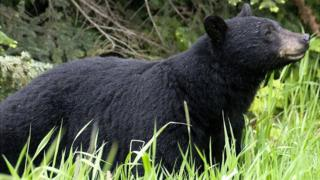 File image of black bear in British Columbia, Canada