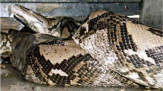 A 14.85m (49ft) python is seen at a zoo in Kendal, in Central Java, Indonesia, 29 December 2003.