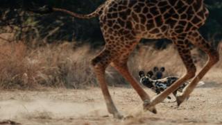 鬣狗和长颈鹿