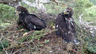 Two young golden eagles