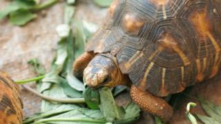 A Radiated Tortoise eating greens