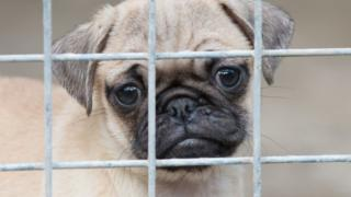 Quarantined pug