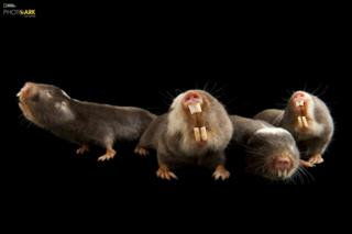 Damaraland mole rats (Fukomys damarensis) Houston Zoo, Houston, Texas