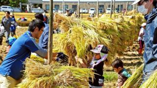 Выращивание риса является основой жизни в Инакадате