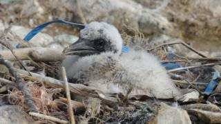 Gannet chick with plastic in nest