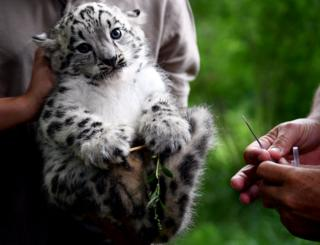 A baby snow leopard is held next to a needle