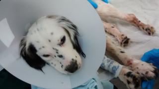 Injured spaniel found in Harrietsham