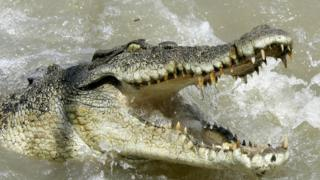 A large saltwater crocodile shows aggression as a boat passes by (file photo)