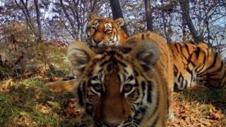 Эти уникальные кадры впервые позволили взглянуть на повседневную жизнь амурских тигров