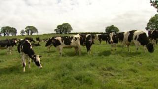 Cows on NI dairy farm