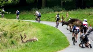 Столкновкение оленя с велопипедистом