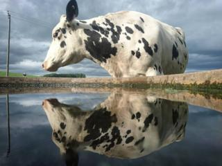 Cow reflected
