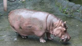 Bertha the hippo in Manila Zoo