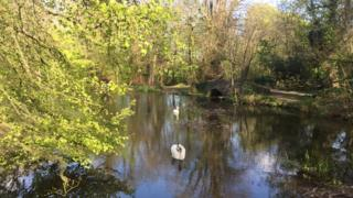 Swans at Withybush Woods