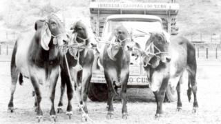Bois em fazenda na cidade mineira de Uberaba