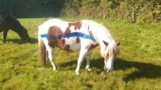 Pony with blue paint on its coat