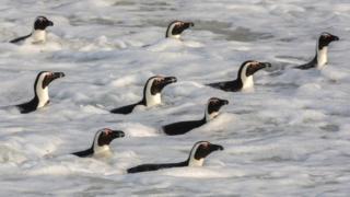 Африканський пінгвін