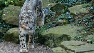 Snow leopard Dudley Zoo Nanga
