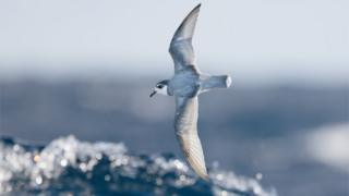 Many species of seabirds, including Blue Petrels, consume plastic debris at sea