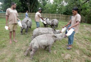 Baby rhinos drink milk in their new paddock