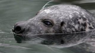 A female grey seal breaks the surface of the water