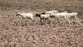 Goats running across mud on watering hole which used to serve 500 homes - in Marsabit, Kenya