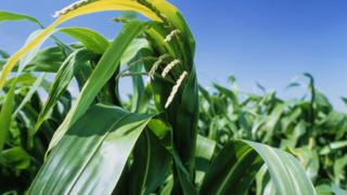 Maize plant (Image: Science Photo Library)
