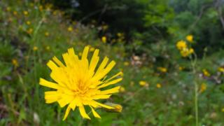 leek-coloured hawkweed