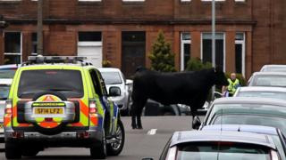 Cow on the loose
