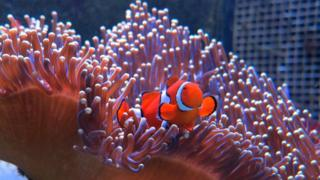 A clownfish emerges from anemone
