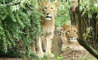 دو شیر فراری باغ وحش لایپزیگ