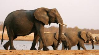 A herd of elephants walks past a watering pan in Hwange National Park, Zimbabwe - 2012